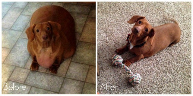Dennis the Dachshund Before and After