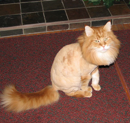 should you shave your pet for summer   diamond   diamond