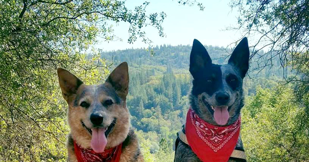 Two Blue Heeler Dogs with Mountains in the Background | Diamond Pet Foods