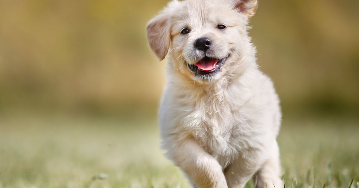 Golden Retriever Puppy Running Outdoors | Diamond Pet Foods
