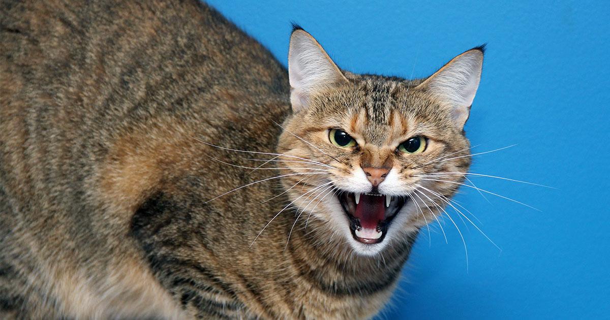Upset House Cat | Diamond Pet Foods