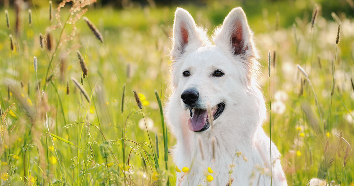 Dog Sitting on a Wildflower Field | Diamond Pet Foods