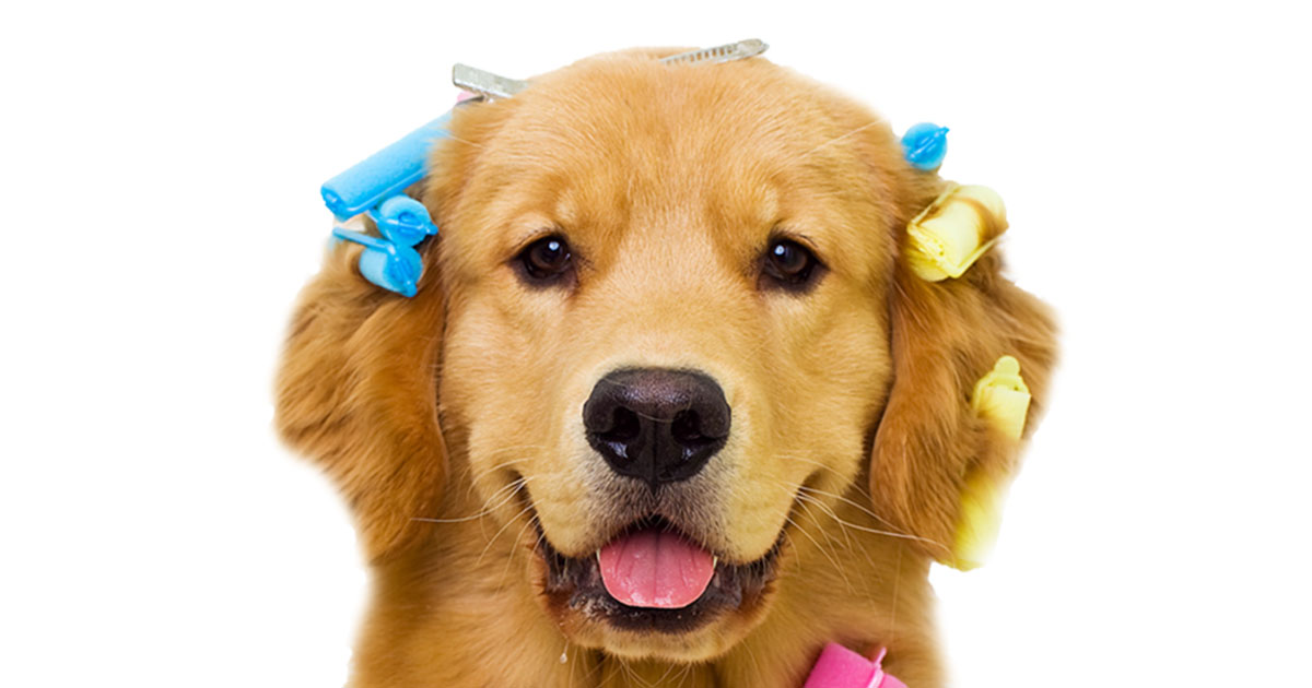 Funny Golden Retriever Puppy Wearing Hair Rollers | Diamond Pet Foods