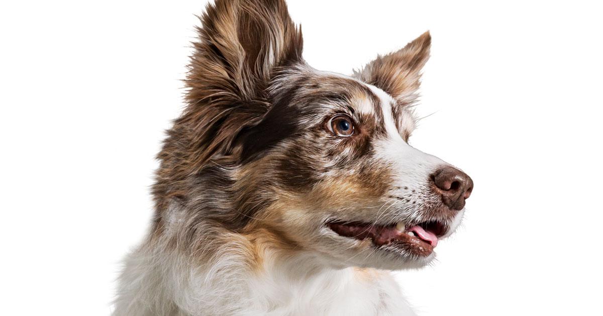Close-Up of Australian Shepherd Dog Face | Diamond Pet Foods