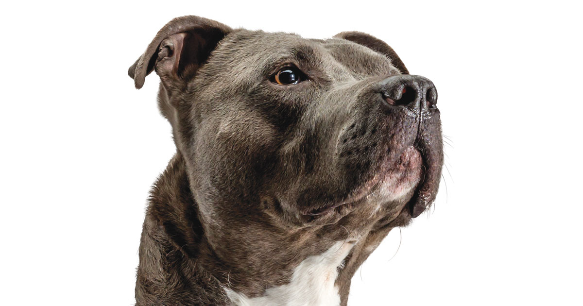 Close-Up of American Pit Bull Dog Face | Diamond Pet Foods