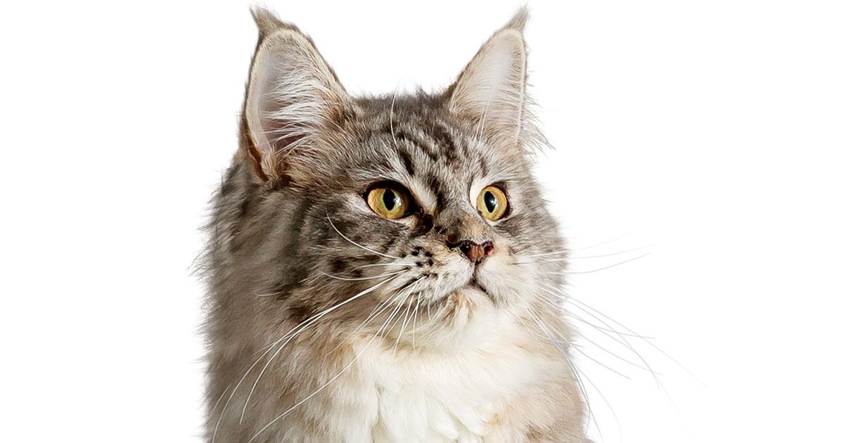 Close-Up of Domestic Longhair Cat Face | Diamond Pet Foods