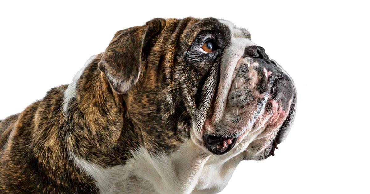 Close-Up of Old English Bulldog Face | Diamond Pet Foods