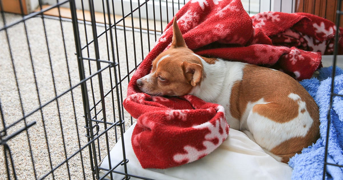 Chihuahua Dog Resting Inside Crate | Diamond Pet Foods