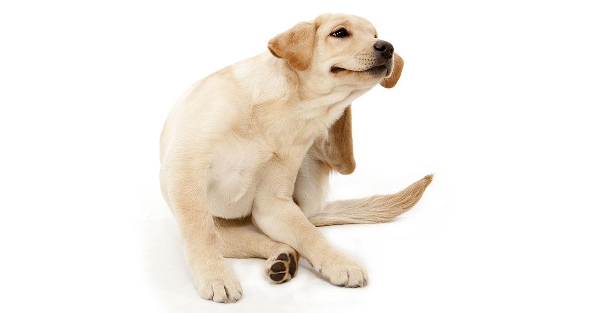 Labrador Retriever Scratching an Itch | Diamond