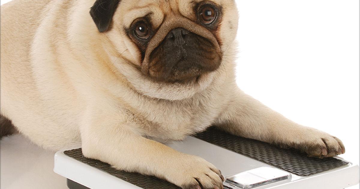 Overweight Pug on Scale | Diamond Pet Foods