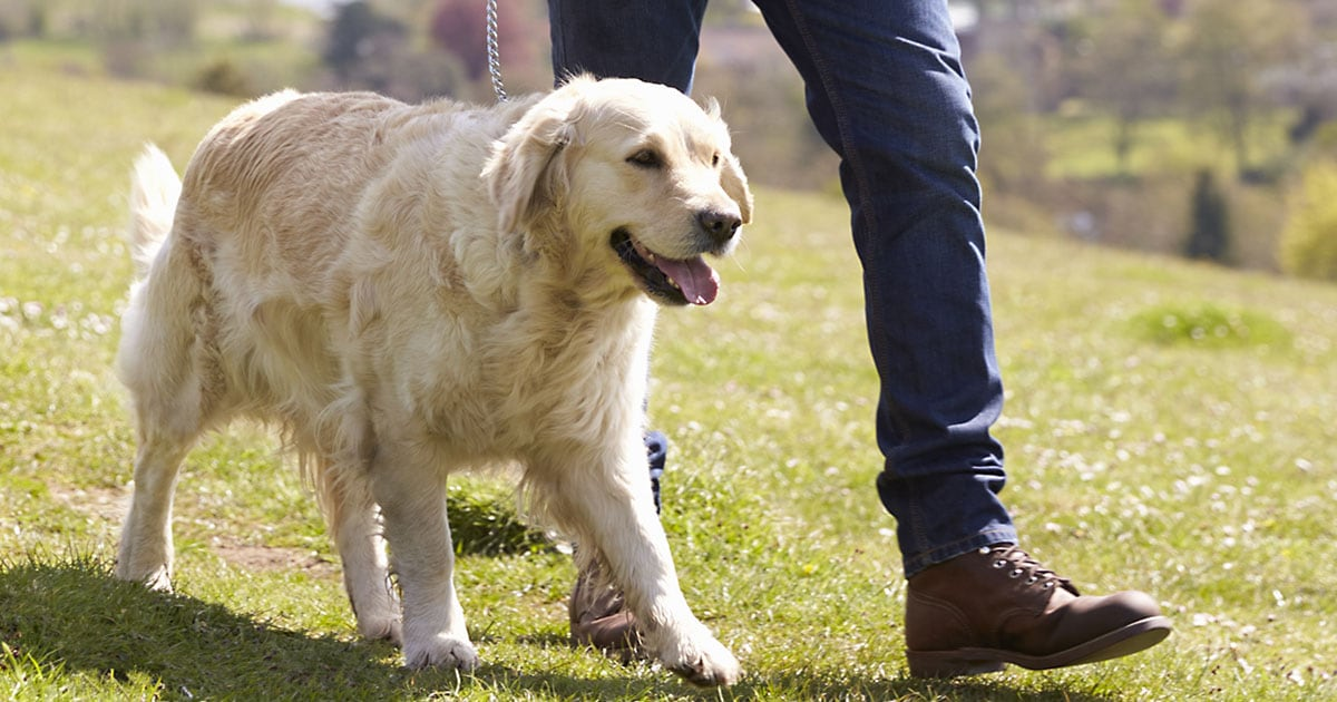 Golden Retriever Dog Walking in the Park with Owner | Diamond Pet Foods