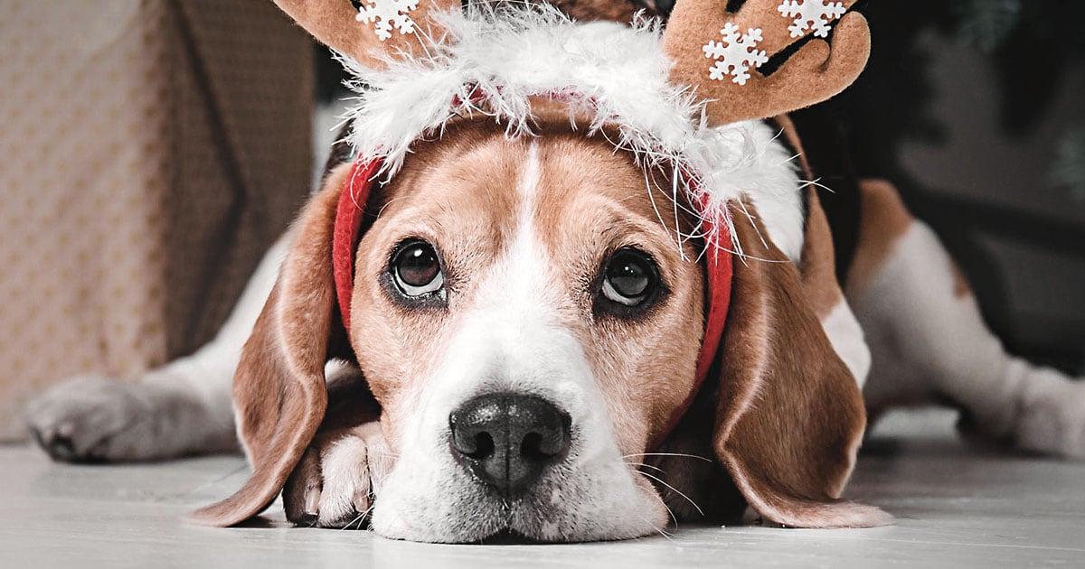Close-Up of Beagle Dog Wearing a Reindeer Holiday Headband | Diamond Pet Foods