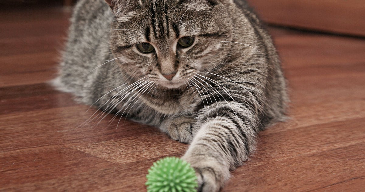 Close-Up of Cat Playing with Toy Ball on the Floor | Diamond Pet Foods