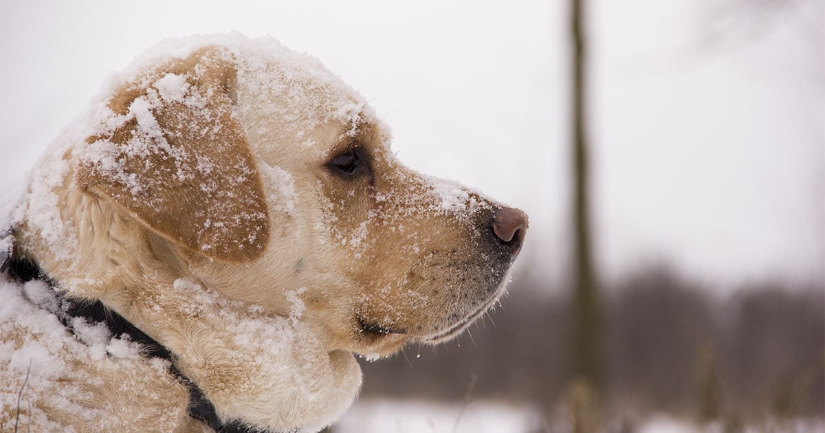 Close-up of Yellow Labrador Retriever Dog Outside in the Snow | Diamond Pet Foods