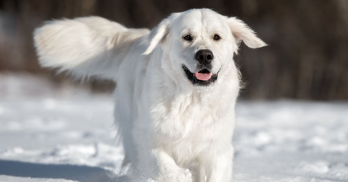 White Labrador Dog Running Through Snow | Diamond Pet Foods