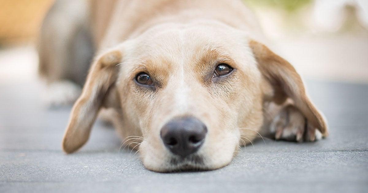 Close-Up of Dog Lying on a Sidewalk | Diamond Pet Foods