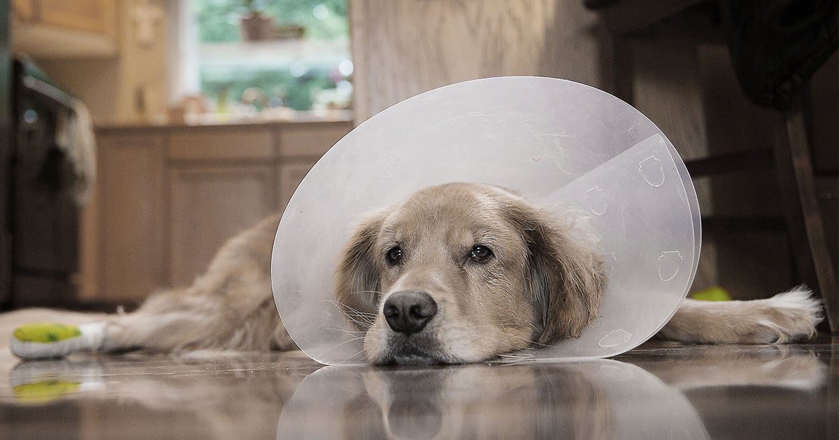 Close-Up of Dog Wearing a Dog Cone and Lying on the Kitchen Floor | Diamond Pet Foods