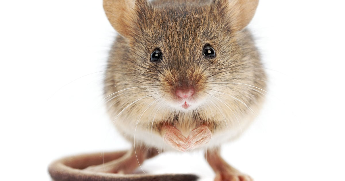 Close-Up Photography of a Mouse | Diamond Pet Foods