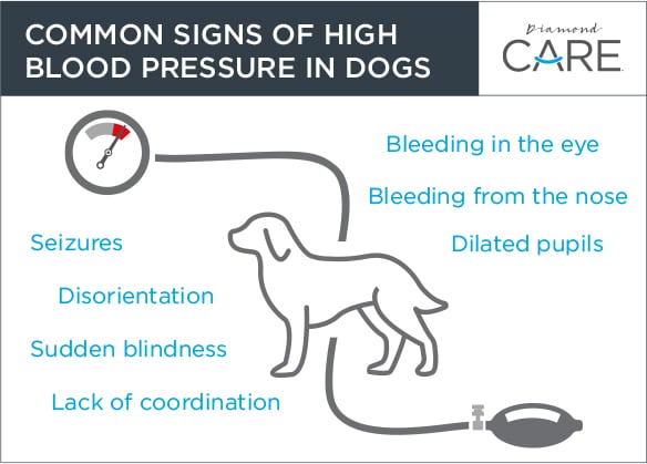 Common Signs of High Blood Pressure in Dogs Guide | Diamond Pet Foods