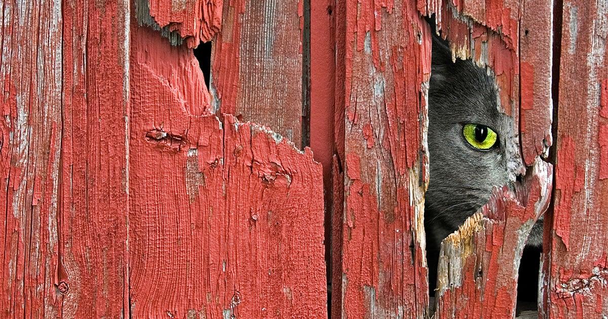 Gray Cat Peeking Through a Hole in a Barn | Diamond Pet Foods