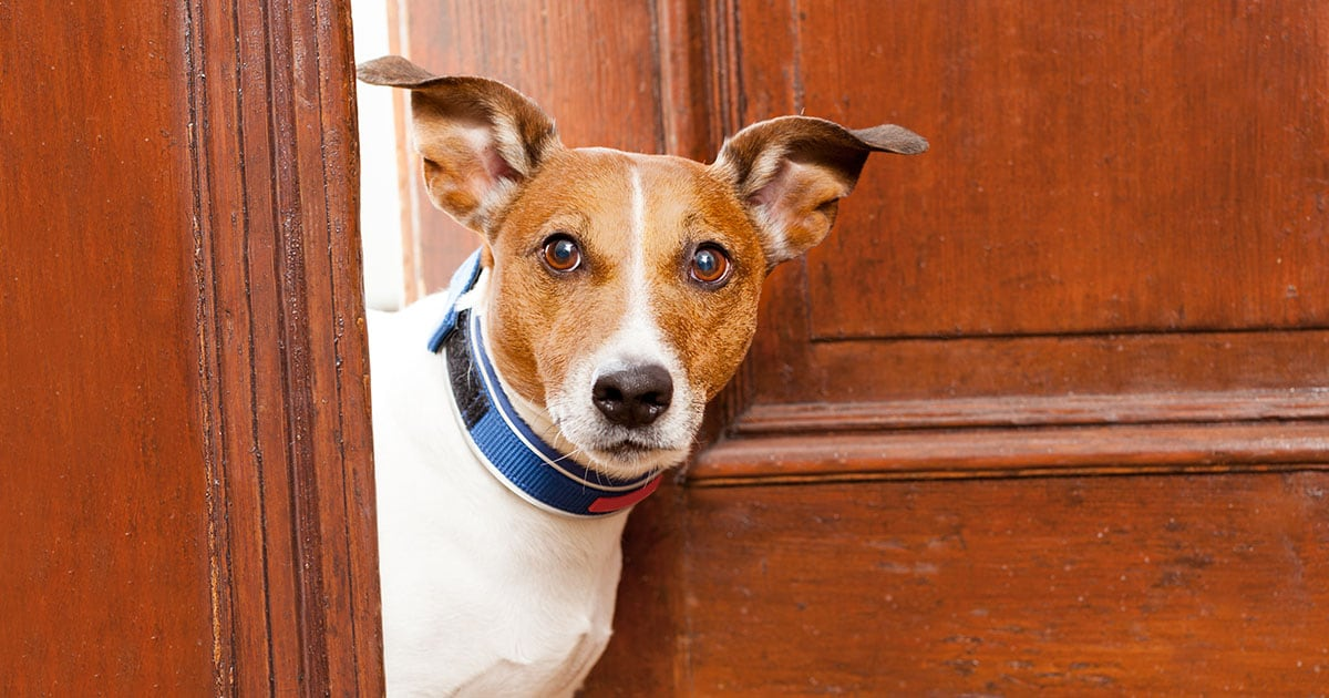 Jack Russell Terrier Dog Standing by Entry Door | Diamond Pet Foods