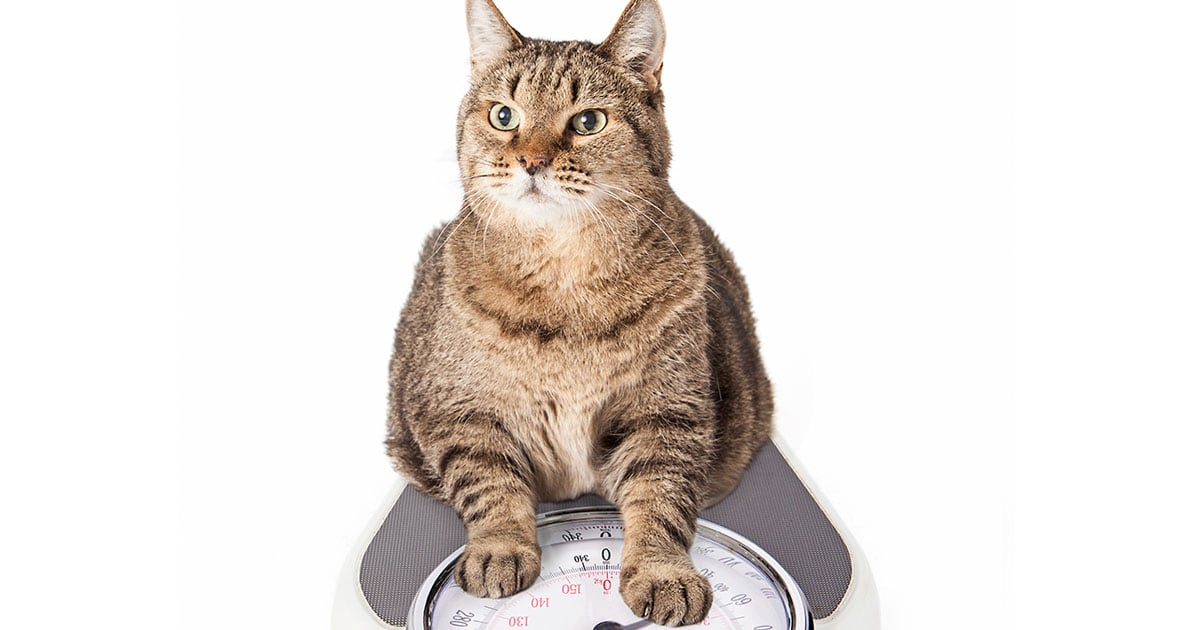Overweight Cat Sitting on Weight Scale | Diamond Pet Foods