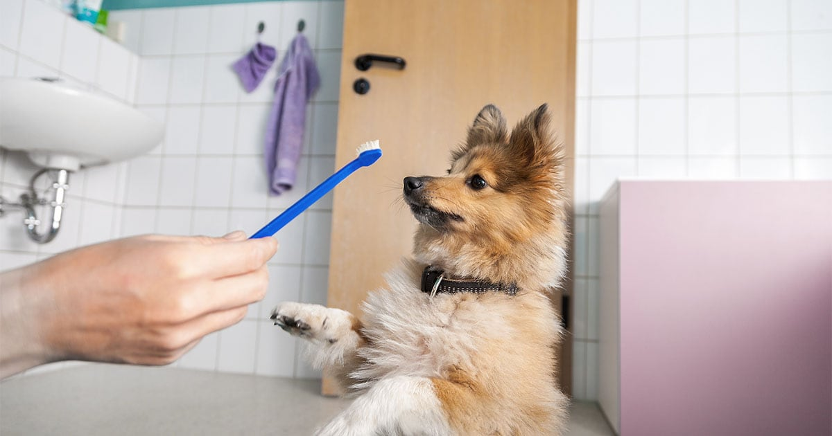Owner Trying to Brush Dog's Teeth | Diamond Pet Foods