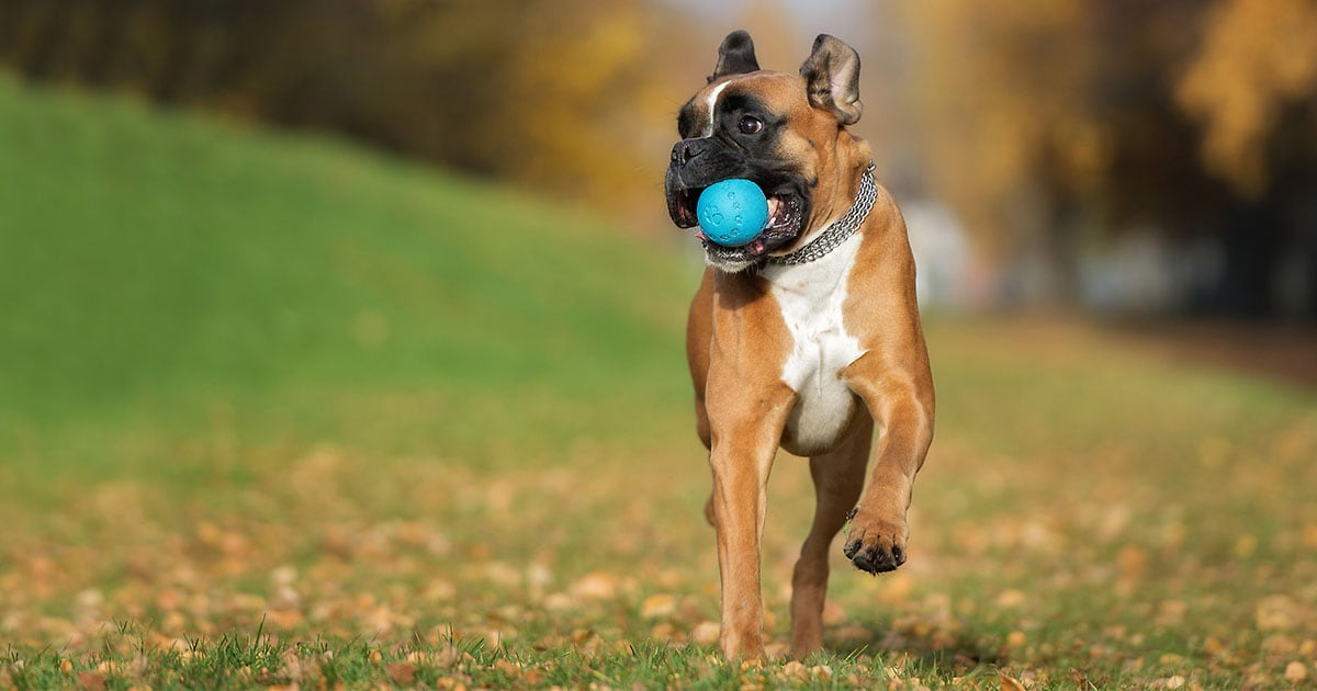 Boxer Dog Running and Holding a Ball in Its Mouth | Diamond Pet Foods