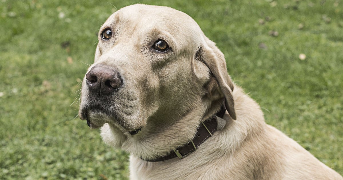 Close-Up of Labrador Dog Sitting Outside | Diamond Pet Foods