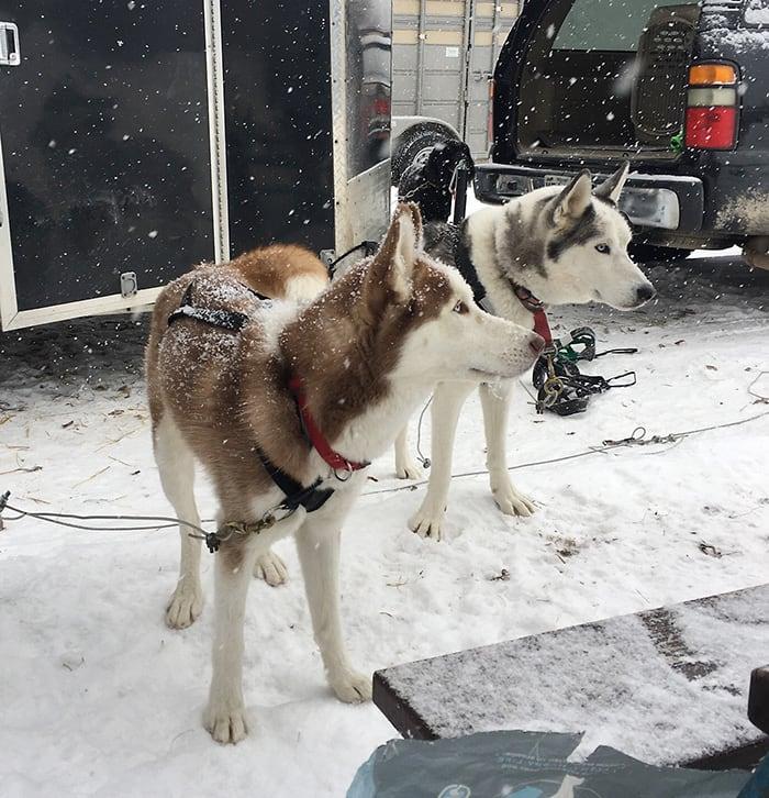 Two Siberian Husky Dogs with Racing Harnesses | Diamond Pet Foods