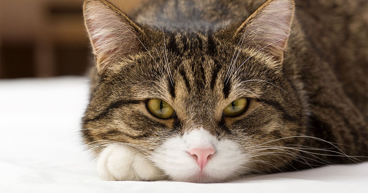 Close-Up of Cat's Face While Lying on Bed | Diamond Pet Foods