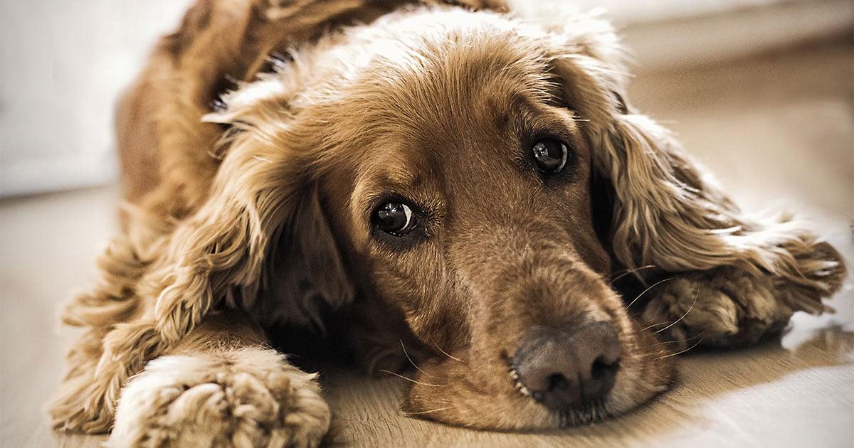 Close-Up of Dog Lying on Floor | Diamond Pet Foods