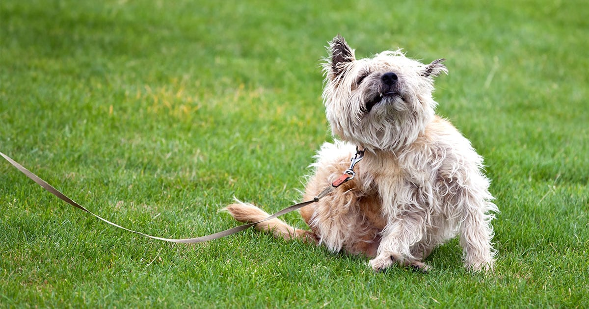 Dog Scratching an Itch on Their Side | Diamond Pet Foods
