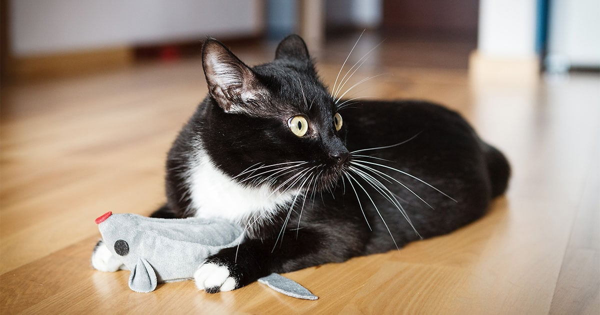 Close-Up of Black and White Playing with Toy Mouse | Diamond Pet Foods