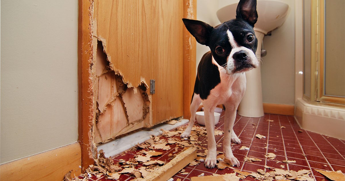 Black and White Dog Looking at Camera After Tearing Up a Door | Diamond Pet Foods