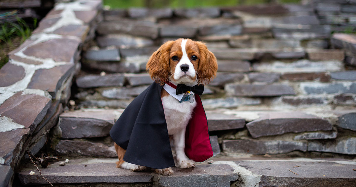 Small Dog Wearing a Cape and Bow Tie | Diamond Pet Foods