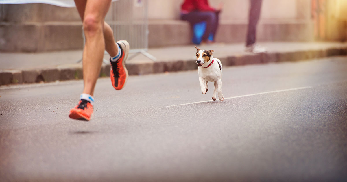 Jack Russel Terrier Dog Running Behind Owner | Diamond Pet Foods