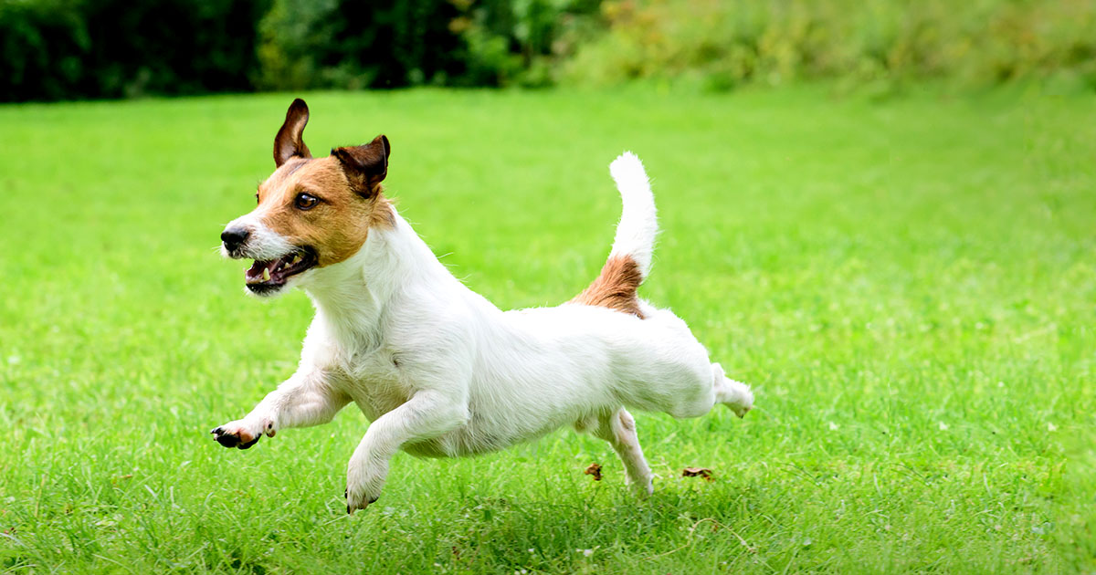 Terrier Dog Playing Outside | Diamond Pet Foods