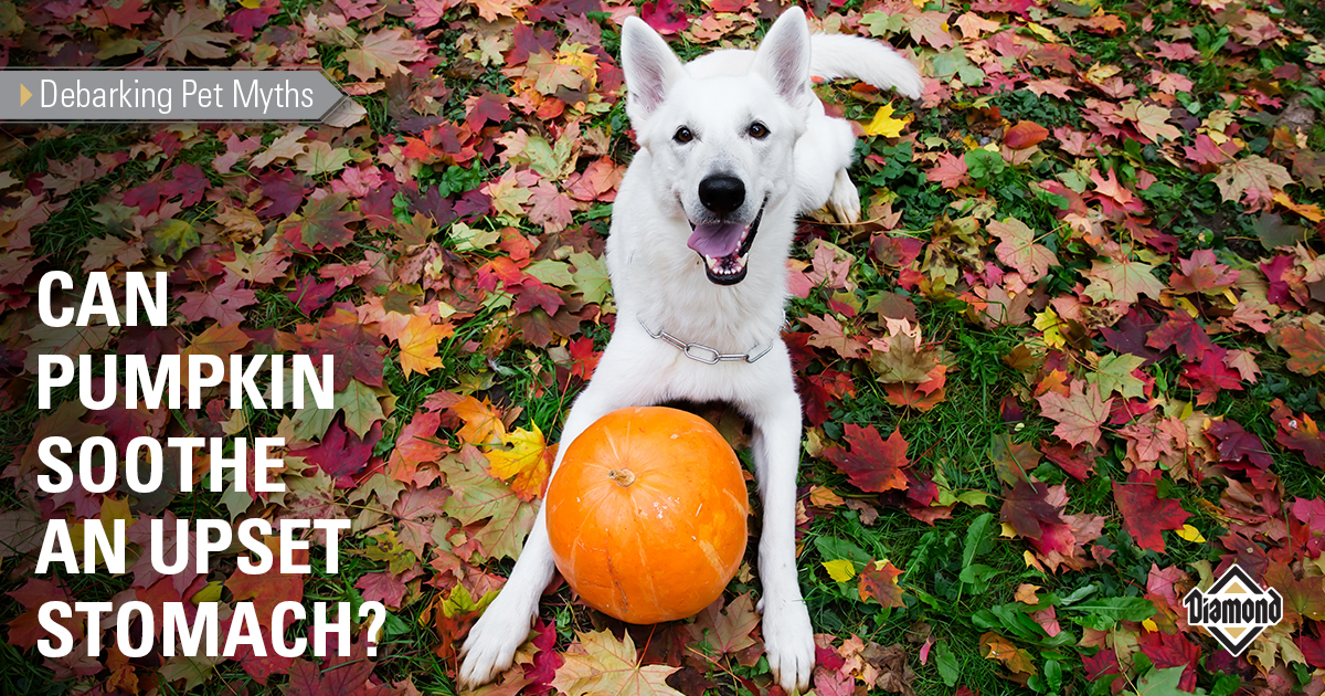 Debarking Pet Myths: Can Pumpkin Soothe an Upset Stomach? | Diamond