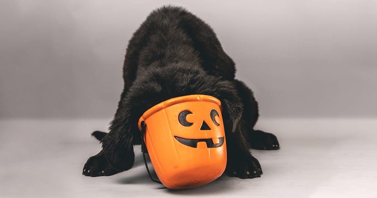 Black Puppy Dog Looking for Treats in Halloween Bucket | Diamond Pet Foods