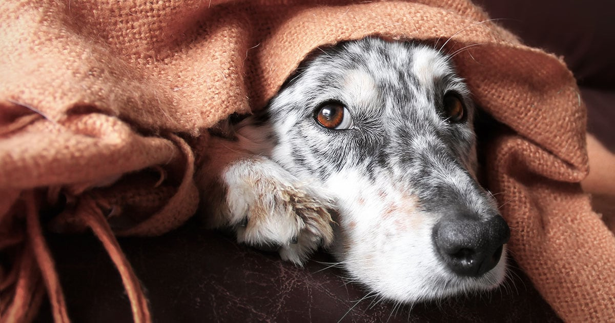 Dog Resting on Couch Under a Blanket | Diamond Pet Foods