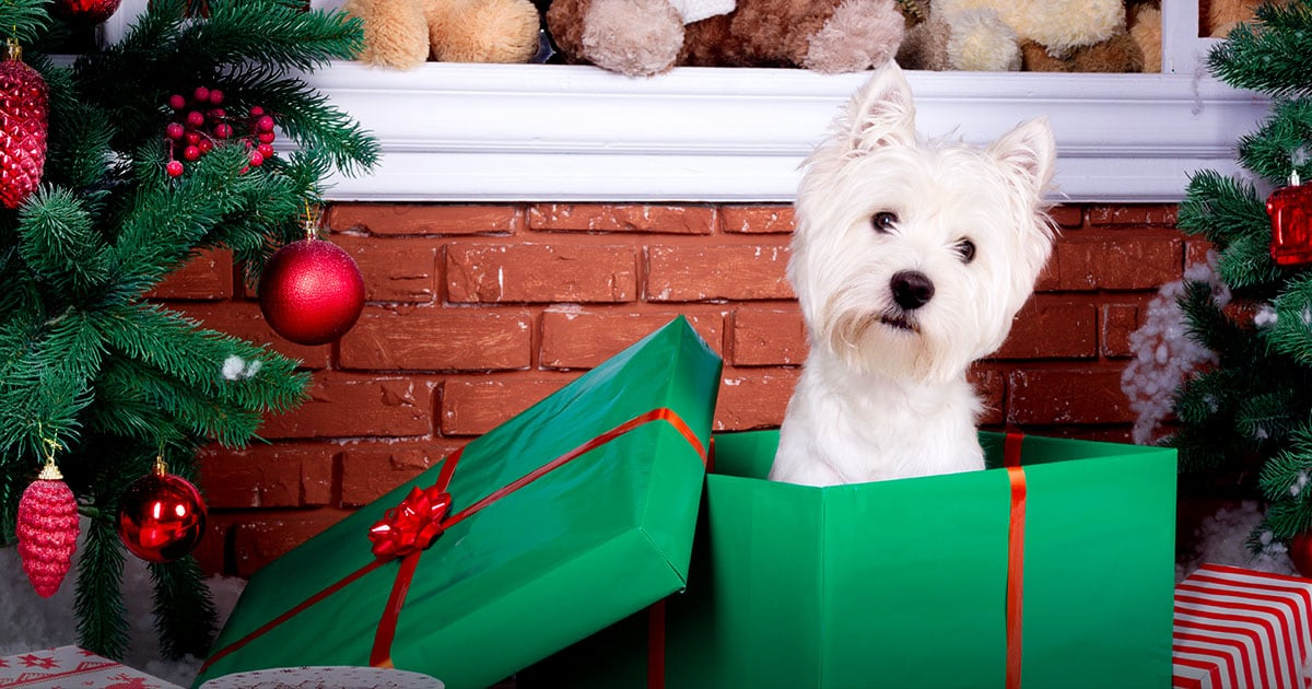 West Highland White Terrier Dog Inside a Christmas Gift Box | Diamond Pet Foods