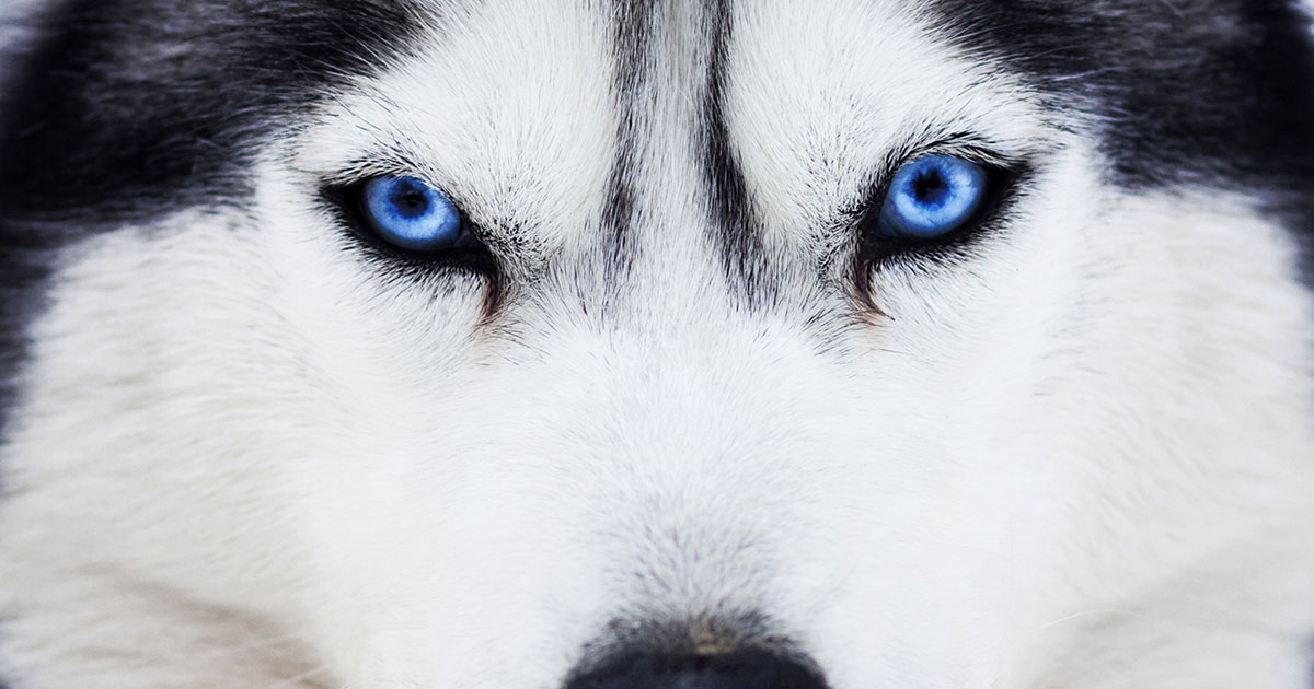 Husky Dog with Blue Eyes | Diamond Pet Foods