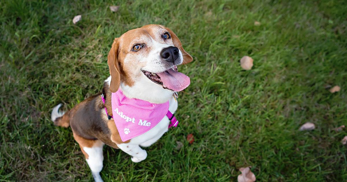 Beagle Dog Wearing an ADOPT ME Bandana | Diamond Pet Foods