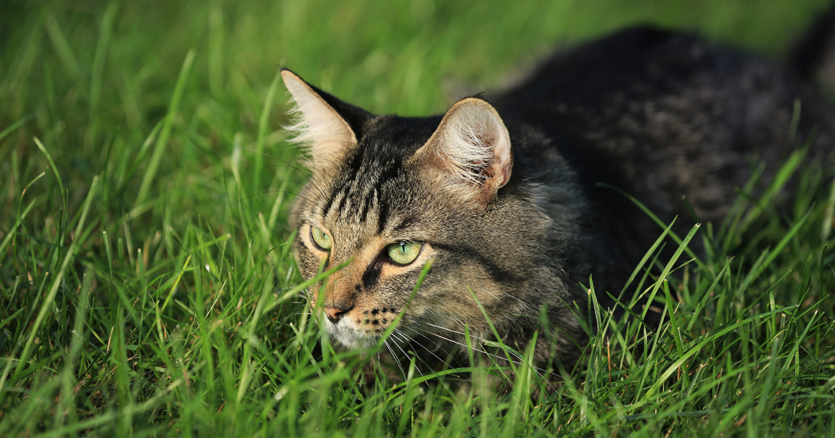 Cat Lying in the Grass | Diamond Pet Foods