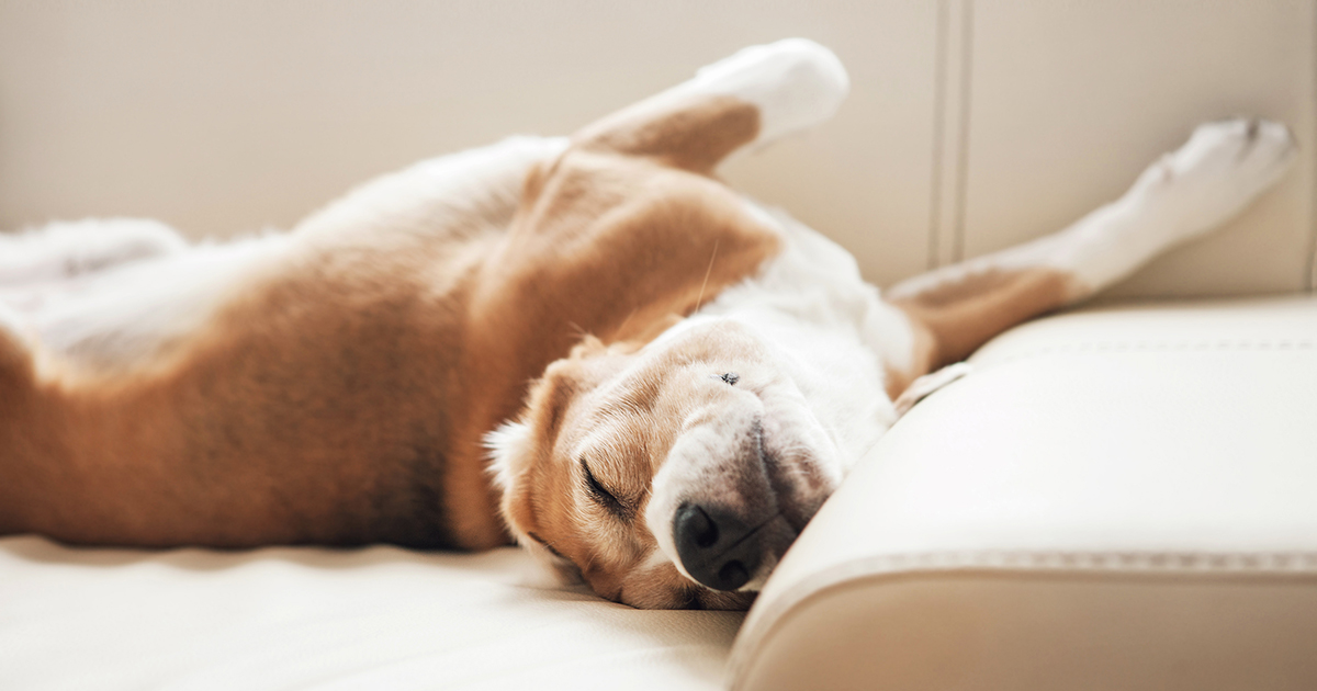 Foster Beagle Sleeping on Sofa | Diamond Pet Foods