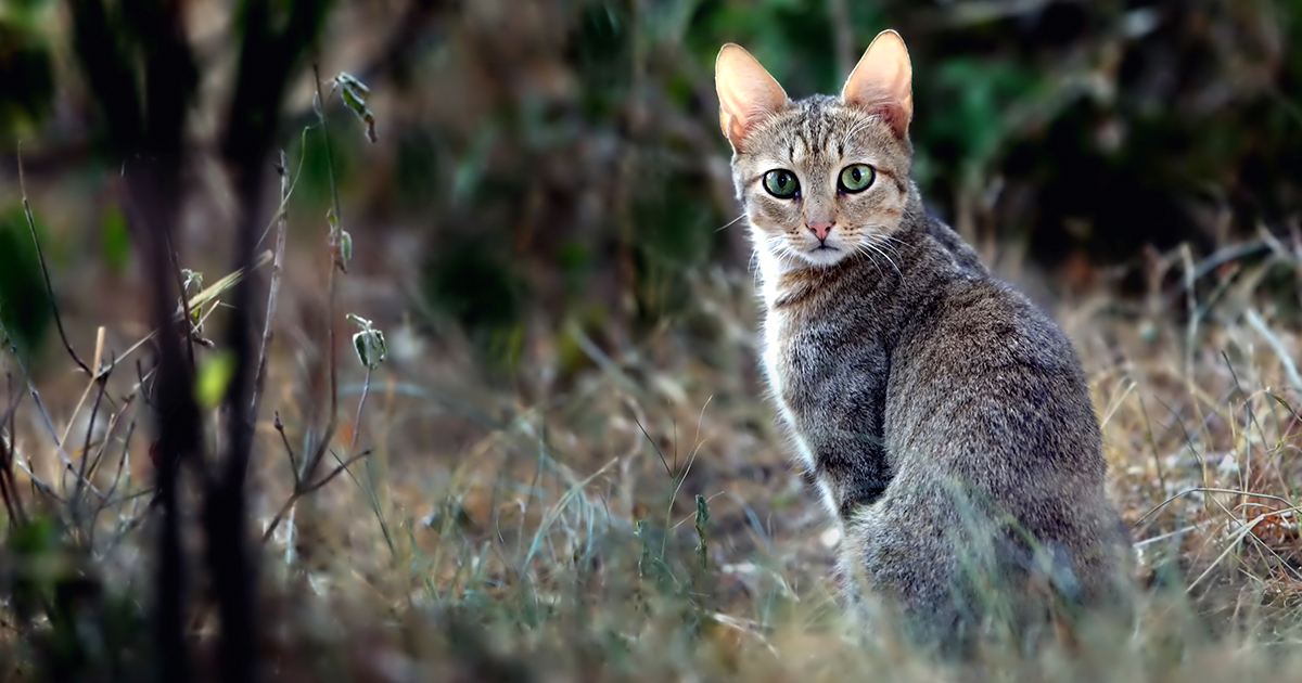 African Wildcat on a Field | Diamond Pet Foods