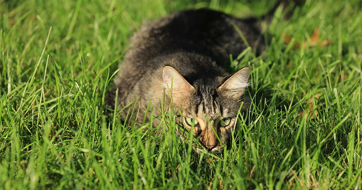 A Cat Stalking Its Prey in the Grass | Diamond Pet Foods