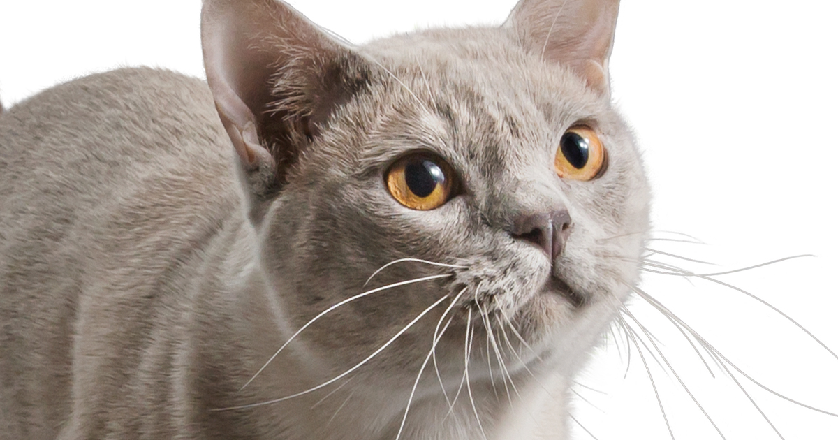 British Shorthair Cat Looking Up | Diamond CARE Pet Food