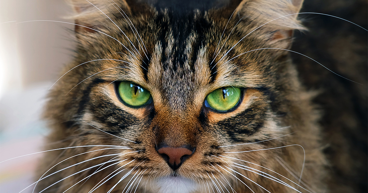 Close-Up Image of Long-Haired Brown Tabby Cat with Green Eyes | Diamond CARE Pet Food